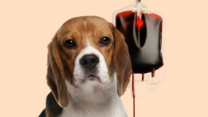 Cães e gatos doam sangue e salvam a vida de outros animais