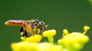 Abelhas sem ferrão e a sua importância ecológica