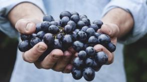Colheita da uva acontece no interior de SP
